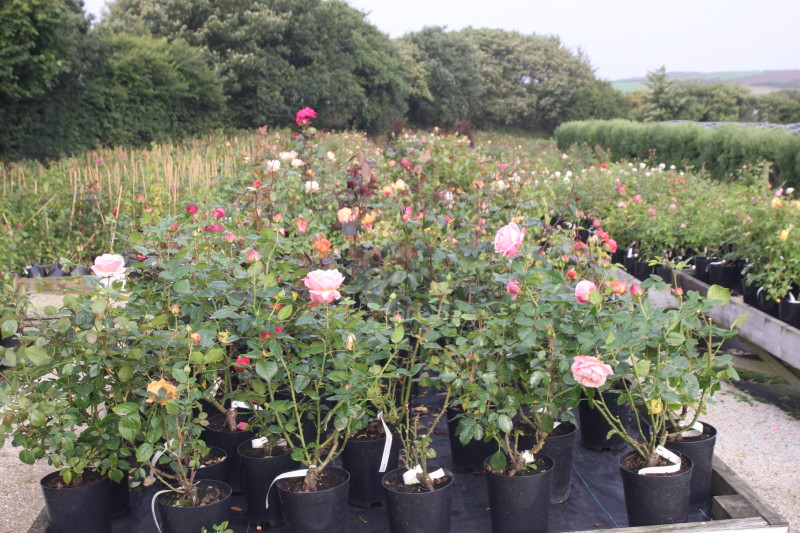 Specialist Rose Nursery For Sale Cornwall